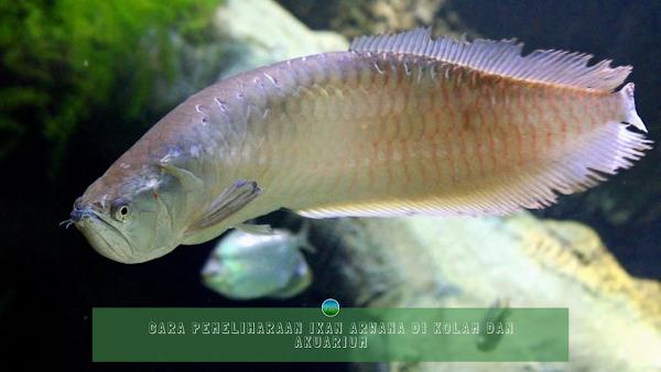 Cara Pemeliharaan Ikan Arwana Di Kolam dan Akuarium