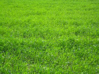 what is Perennial Ryegrass