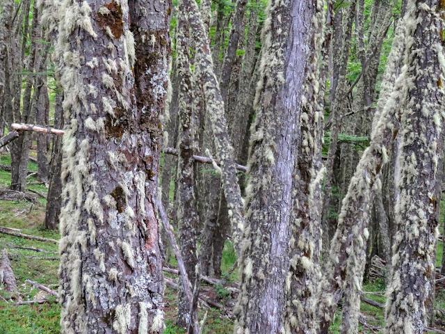 Mossy trees near Perito Moreno Glacier near El Calafate Argentina