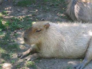 A Capybara Sits On The Grass.