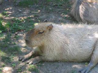 A Capybara Sits On The Grass.