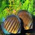 Sekilas Metode Pembenihan Ikan Hias Discus (Symphysodon diskus)