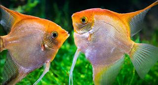 Ikan Angel Fish (Manfish)