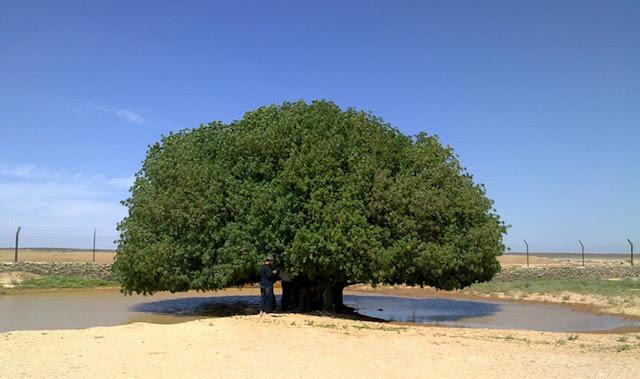 Pohon Sahabi Dan Pendeta Buhaira Dalam Kisah Perjalanan Nabi Muhammad SAW
