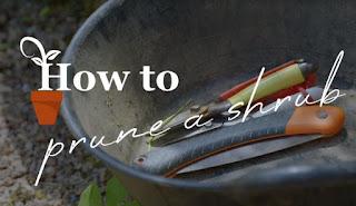 How to prune a shrub