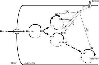 Insulin stimulation of the flux