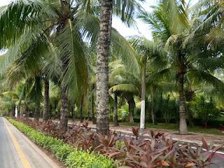 pohon kelapa di sepanjang jalan kota haikou provinsi hainan