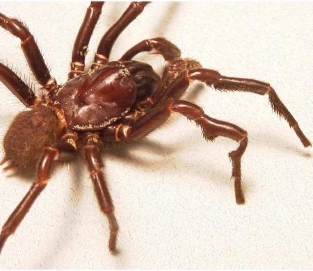 Tree-funnel Web Spiders