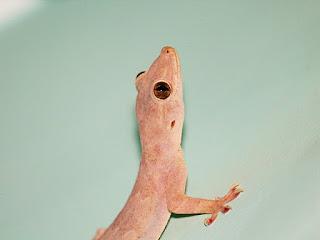 Remove lizard from home hindi, how to remove lizard, छिपकली भगाने के उपाय, घर से छिपकली कैसे भगाएं, घर से छिपकली भगाने का तरीका, घर से छिपकली भगाने का तरीका, घर से छिपकली भगाने का घरेलू उपाय, छिपकली भगाने का नुस्खा