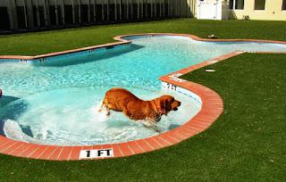 Perros y piscinas