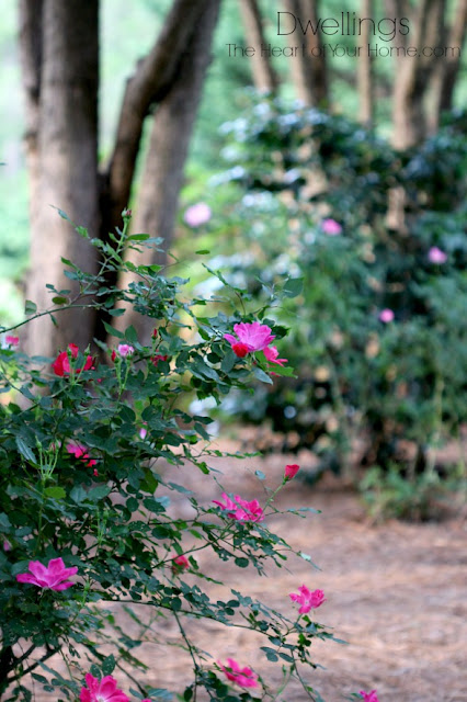 Red and pink knock out rose bushes