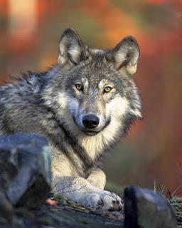 Le loup, bête noire des paysans