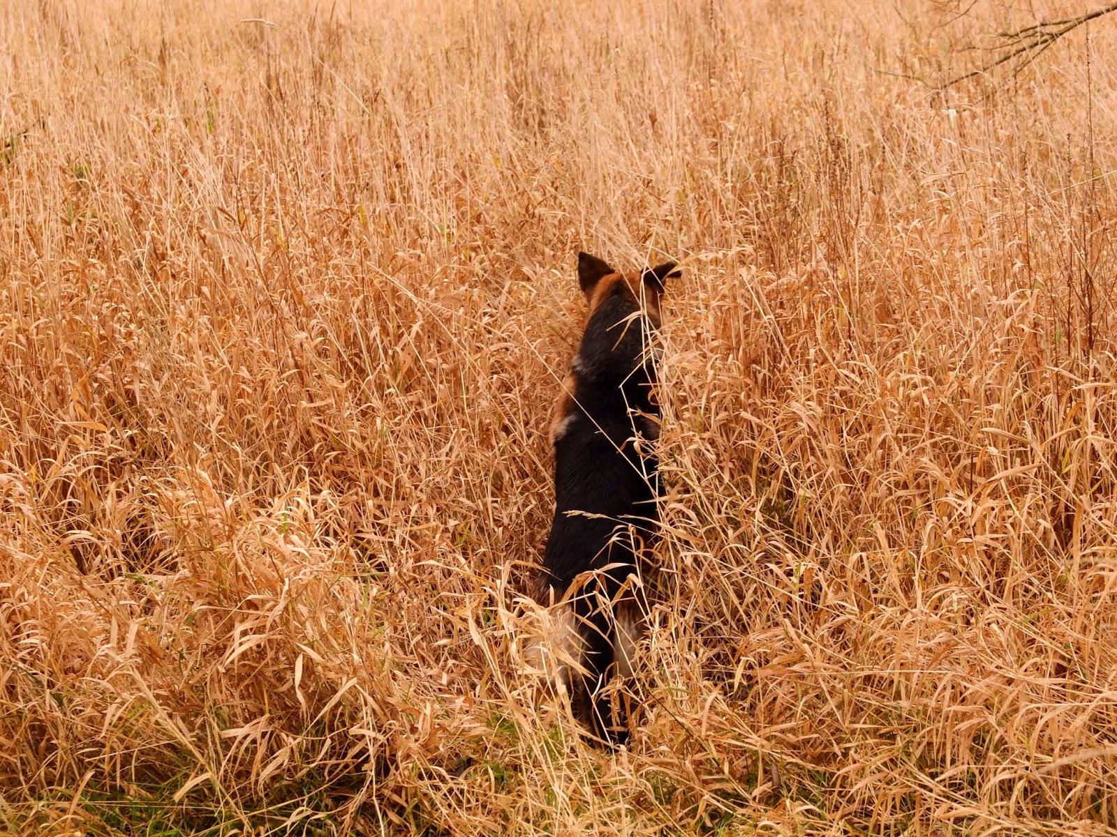 A German Shepherd jumping in long, golden grass chasing after a stick.