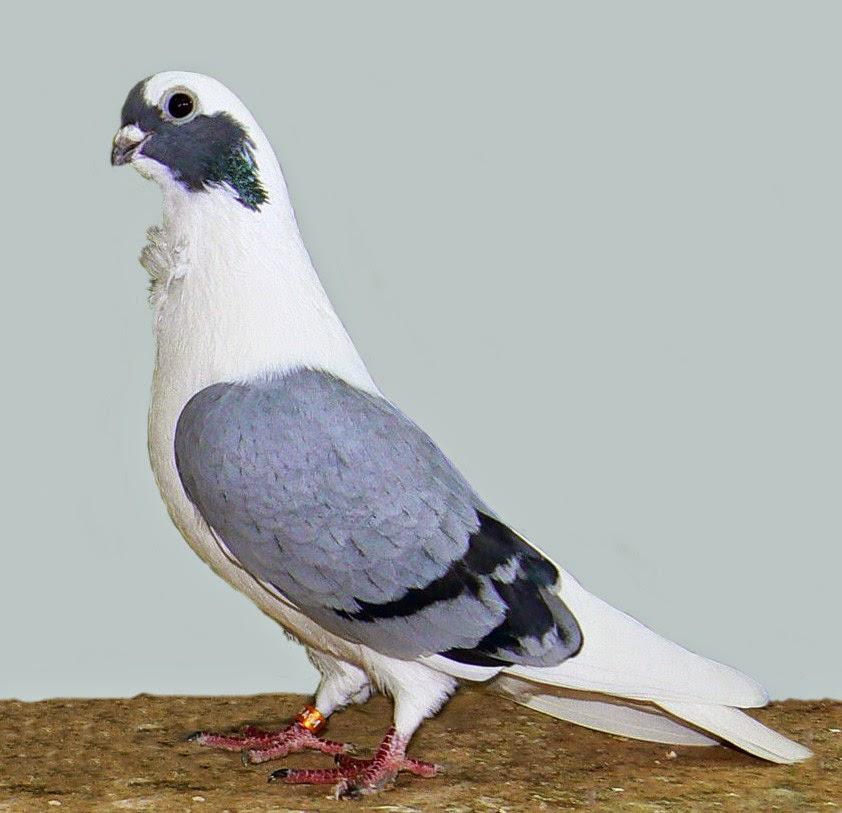 The Racing Pigeon HD wallpaper: Barbarisi Owl Pigeon Wallpaper