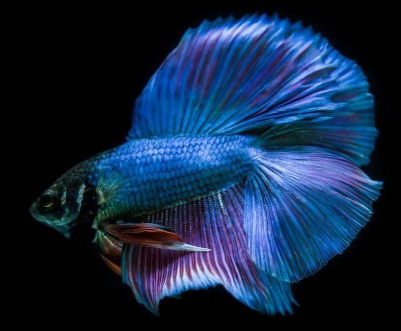 Image Blue Betta Fish