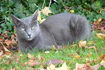 قطط الكورات : Korat