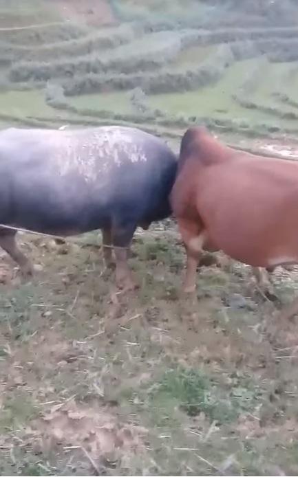 Lần đầu tiên nhìn thấy bò và trâu chọi nhau :3