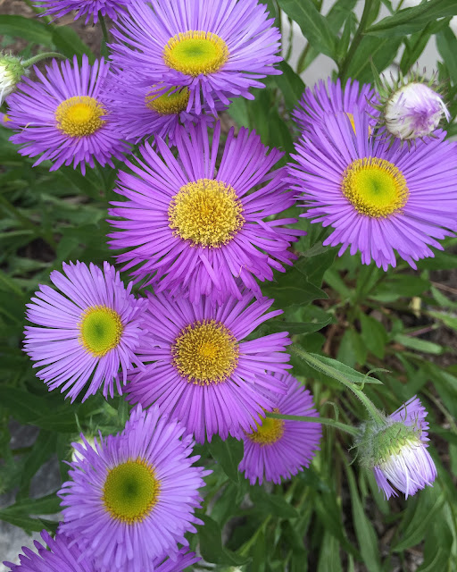 Erigeron speciosus 'Darkest of All'