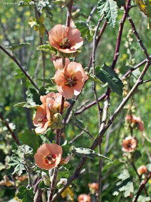 Malvavisco Sphaeralcea bonariensis