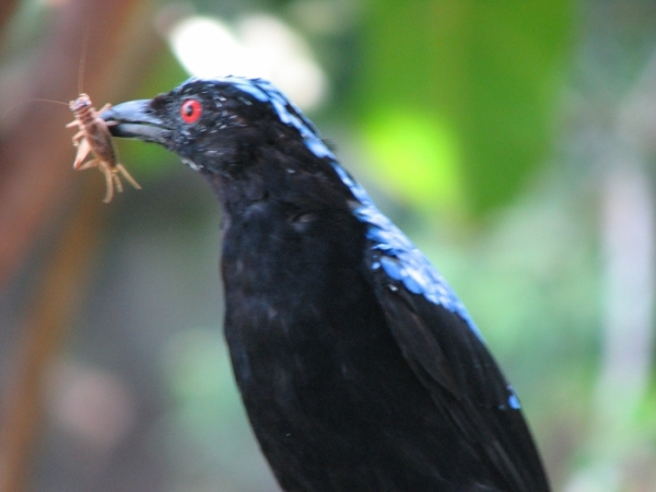 bird eating cricket