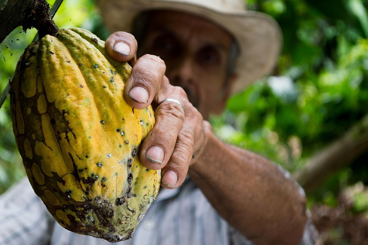 Culture du cacao