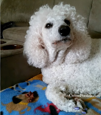 Poodle sticking nose up in air