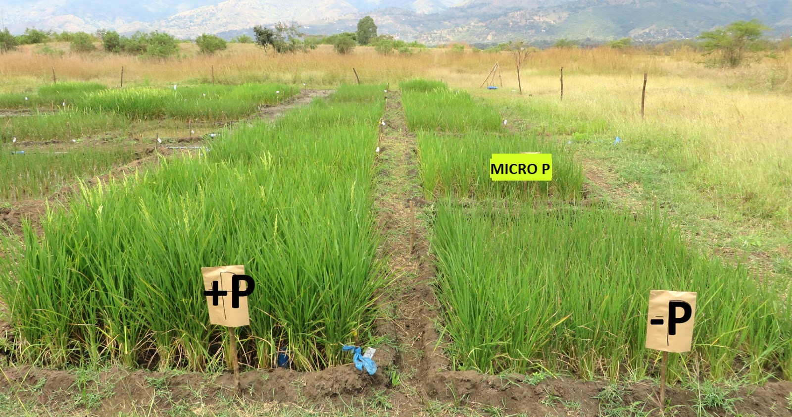 water saving rice production systems - HD1600×842