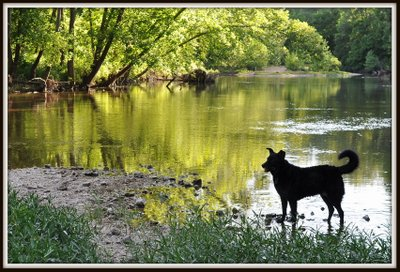 My dog Lady wading in the river
