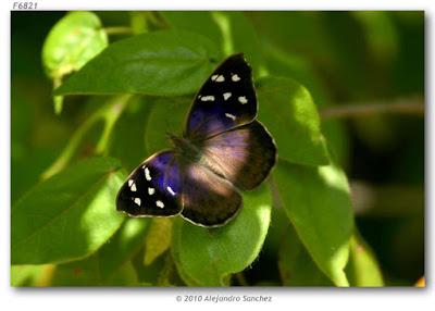 Mariposa tatila (Eunica tatila)