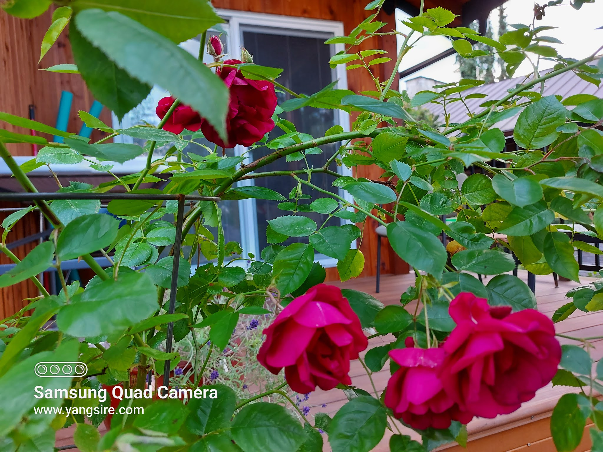 A lovely red rose flowers