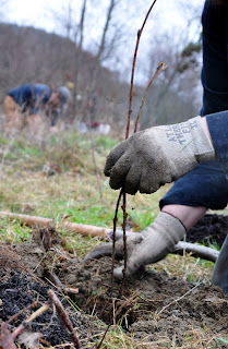 A close-up photo of someone planting a bare-root plant. A gloved left hand is holding the stem in place while the right hand holds a dirt clump.