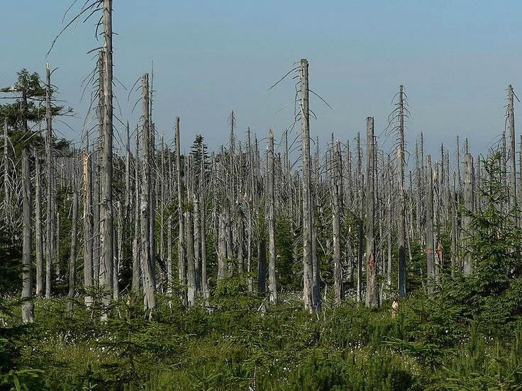 forest damaged by acid rain