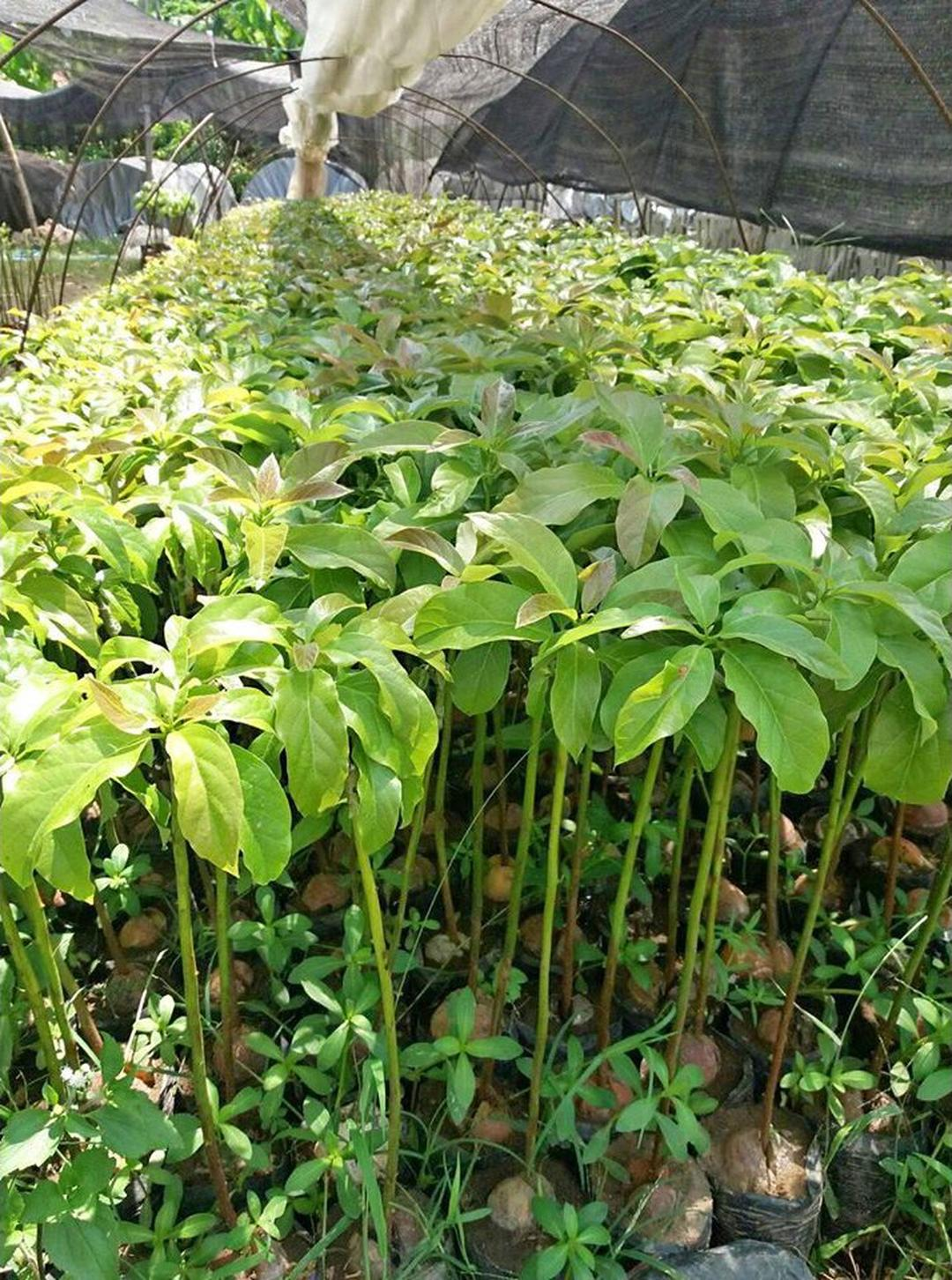 Promo! New bibit tanaman buah alpukat shepard Kota Bogor #bibit buah