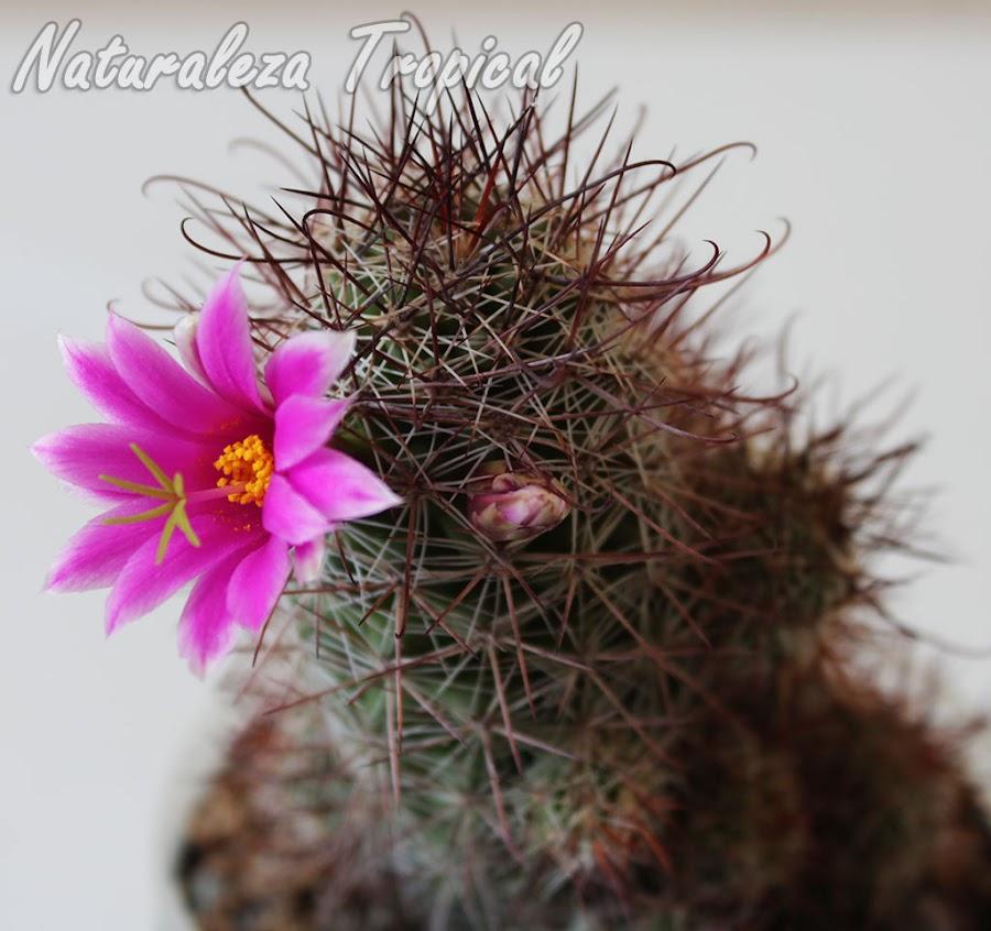 Flor púrpura de una variedad de Mammillaria mazatlanensis