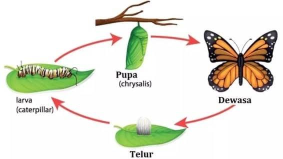 pertumbuhan dan perkembangan pada kupu-kupu (metamorfosis)