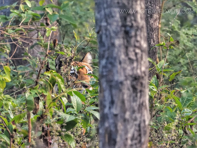 Tiger in Satpura's Churna Range