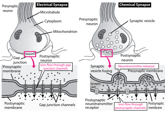 Chemical Synapse Electrical Synapse