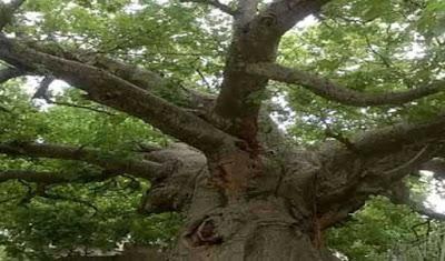 parijat-trees-came-from-africa-in-uttar-pradesh