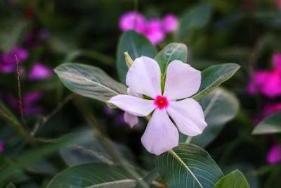 bunga tapak kera