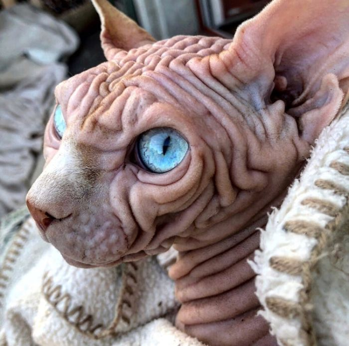 "A Wrinkly Sphynx Goes Viral As ""World's Scariest Cat"""