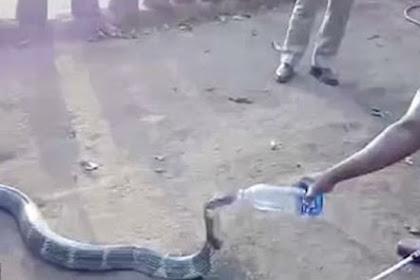King Kobra Marah Diberi Air Minum, Ini Reaksinya