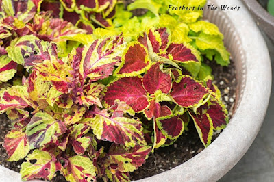 Coleus houseplant