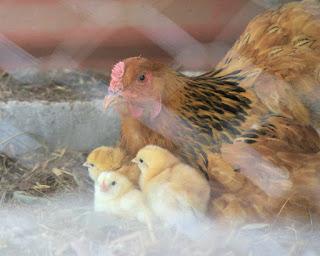 brahma hen with chicks