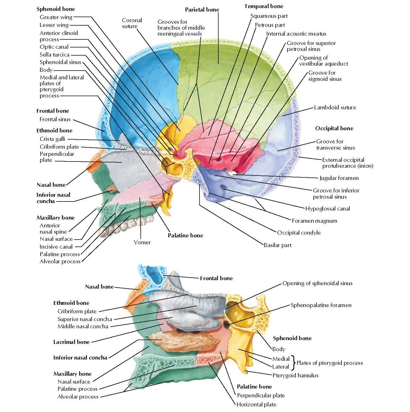 Skull: Midsagittal Section Anatomy