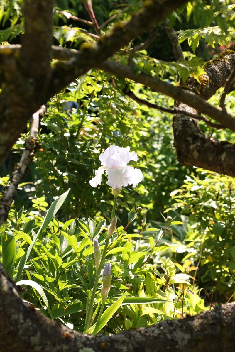 le temps des irissuite   le blog de mon doubs jardin