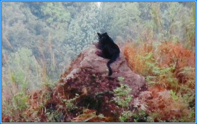The same black panther that was spotted in Lower Alubari, Darjeeling recently