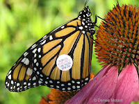 Monarch male with tag XPM 250 on Purple coneflower - © Denise Motard