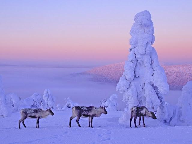 Finland wallpaper images Reindeers Lapland