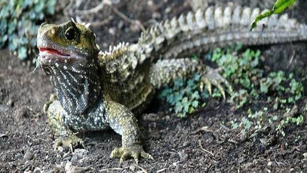 Reptil tuátara comparte ADN con mamíferos, según estudio