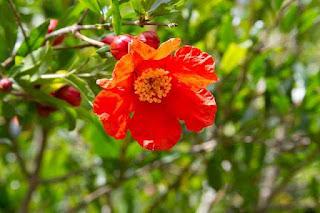 Pomegranate Fruit Cultivation